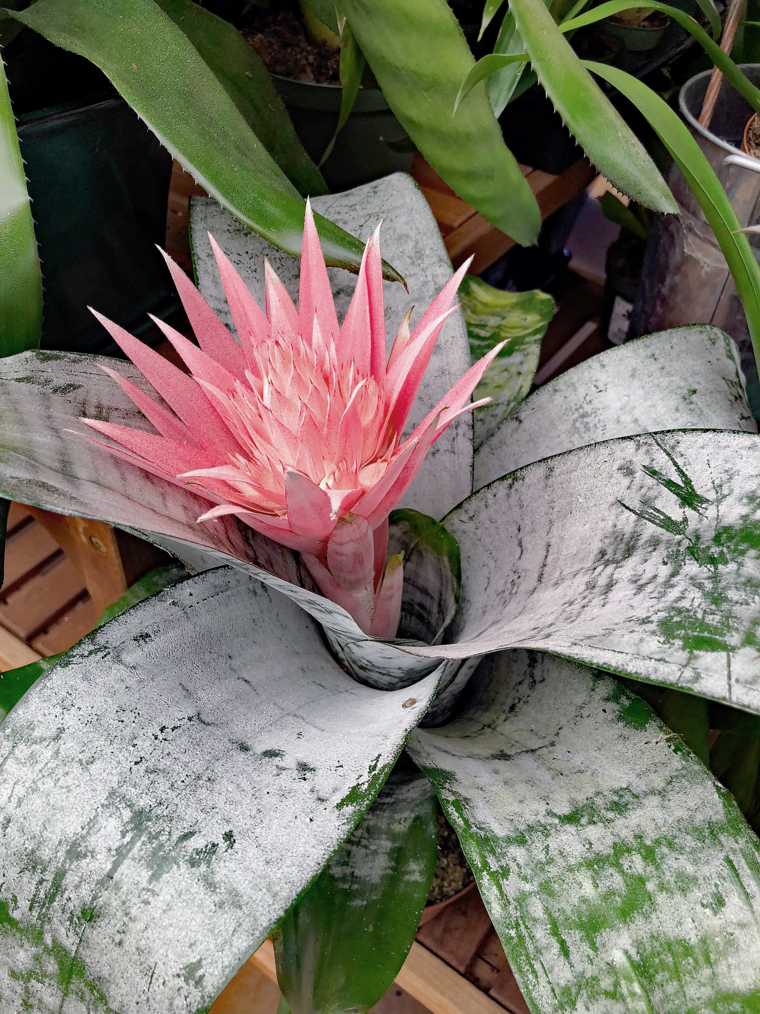 Forcing Bromeliads Back Into Bloom The Dirt Gardener
