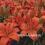Purchasing Lily Bulbs & Fireblight Contamination