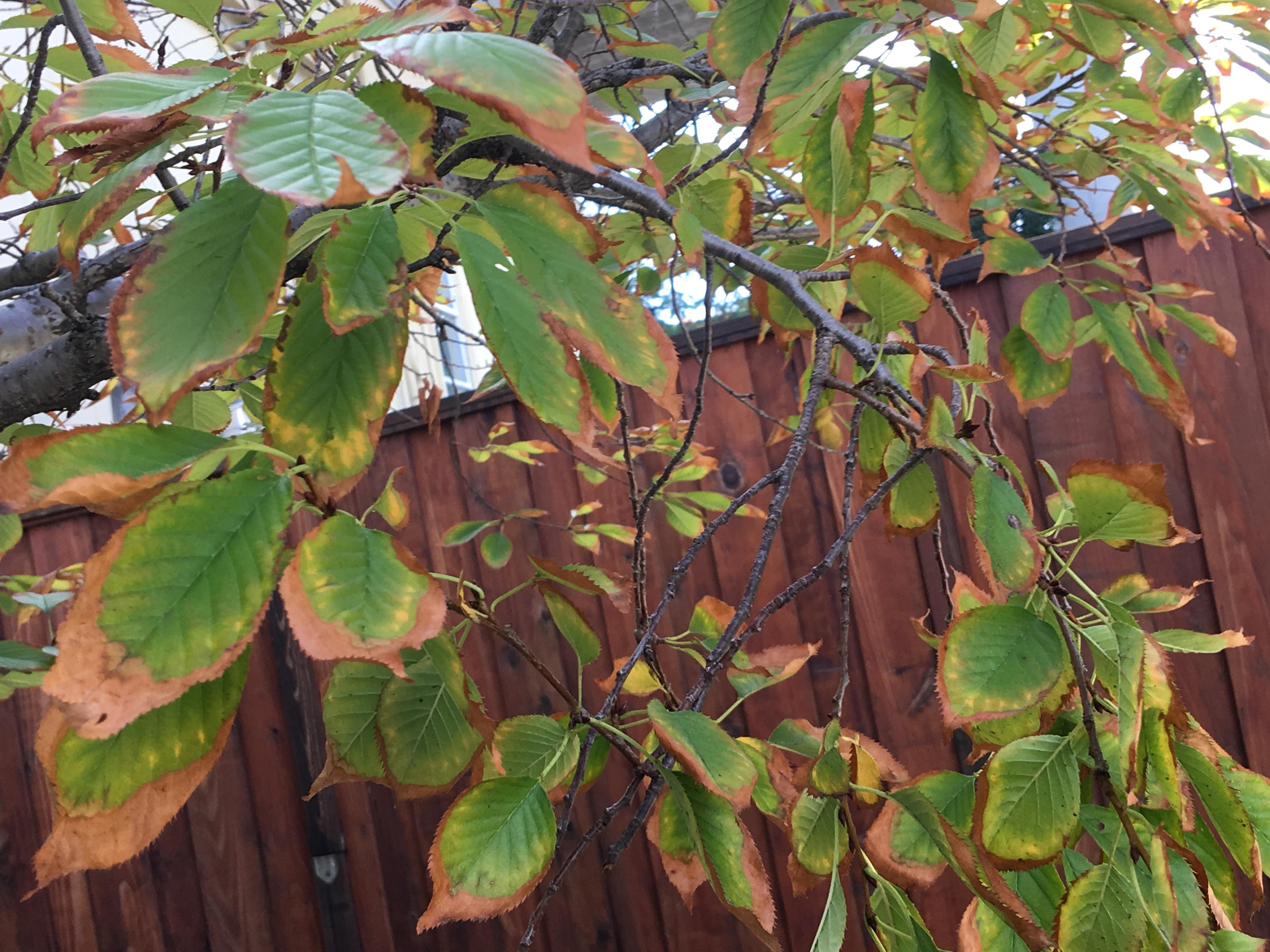 Cherry Tree Flowering Again Leaf Drop Holes In Cabbage Leaves The Dirt Gardener